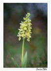 Orchis pâle (Orchis pallens)