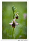 Ophrys bourdon (Ophrys fuciflora)