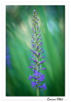 Orchis moucheron (Gymnadenia densiflora)