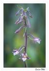 Epipactis des marais (Epipactis palustris)
