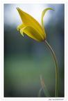 Tulipe des vignes