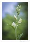 Céphalanthère à grandes fleurs (Cephalanthera damasonium)