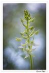 Platanthère à deux feuilles (Platanthera bifolia)