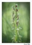 Homme pendu (Orchis anthropophora)